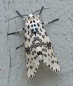 Hypercompe scribonia. Giant Leopard Moth.  I saw one of these by my apartment last year. It was beautiful.