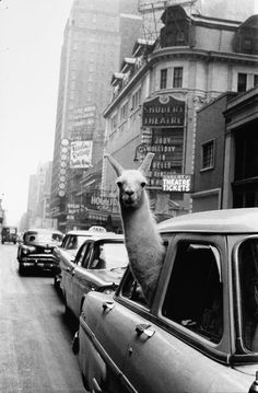 """Inge Morath, """"Llama in Times Square,"""" silver print, 1957, printed circa 1985. //Check Out These Marvelous Old NYC Photos Hitting The Auction Block: Gothamist"""
