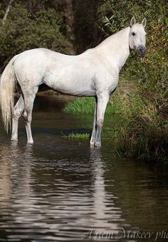 Tersk horse breed by WhiteBear(Артём Макеев). The breed was formed from Arabian, Don, Strelets, Kabarda, and various cross-bred mares, including Strelets x Kabardin and Arabian x Don. Early crosses produced a successful Arabian-type horse. Later, Kabardin, Thoroughbred, Arabian, and Russian Don blood improve the Tersk. By 1948, the breed was officially recognized.