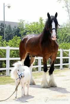 Sweetest picture ever of a miniature pony and Clydesdale :)