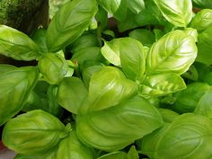Basil repels mosquitoes naturally and taste great in Italian food