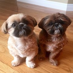 Shih Tzu brothers … Freddie and Jack