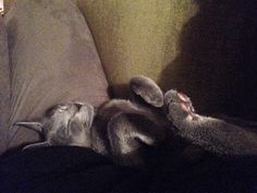 Zak - our russian blue male kitten, 13 weeks old, taking a nap. He sleeps like a baby, sometimes upside down or stretched out. He's so beautiful...