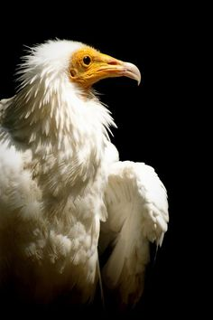 Egyptian vulture by BrokenFeathers.deviantart.com on @deviantART