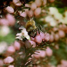 #unabellagiornata 52/365 ...e dopo il trifoglio...le api! #bees