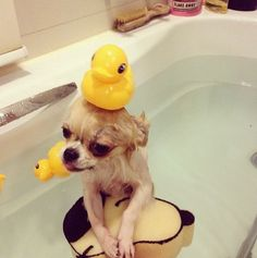 Bath time chihuahua.