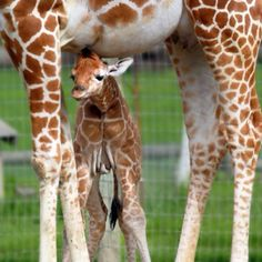 So sweet! (giraffes from Safari West in Sonoma County)