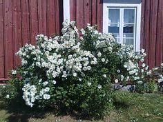 Juhannusruusu. Korkeus: 150–200 cm. Kukkii juhannuksen aikoihin pari viikkoa. Kasvupaikka aurinko–puolivarjo,kuiva–tuore, keskiravinteinen, läpäisevä maa.