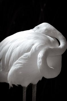 I'm sure there are albino flamingos but I think this is just a B & W photo. Flamingos become pink through their diet. Pretty Birds, Beautiful Birds, Animals Beautiful, Beautiful Swan, Pretty Animals, Pink Eyes, White Egret, Rare Animals, Wild Animals