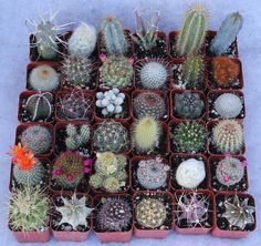 Website to purchase cactus collections