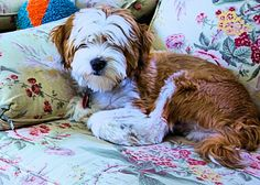 Lovable Tibetan Terrier puppy. Perfect pet for children and adults alike. Very friendly, clean and neat puppy - a delight to have around the house. http://www.cafepress.com/capecodclipper/9404349/?aid=%203784380