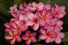 "The plumeria ""Star Ruby"".  Thai hybrid with a deep yellow-orange throat emerging onto petals that show dark pink with beautiful darker pink graining with an underlayer of faint white.  This is a low grower with very good keeping quality.  As with J-4 and J-105 plumeria, Star Ruby has shown more tolerance for brief period of temps in the high 30's.    SeaSidePlumeria@cfl.rr.com"