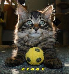 Ziggy  kitten