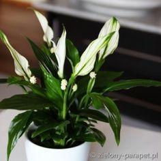 Spathiphyllum 'Pearl Cupido' Skrzydłokwiat