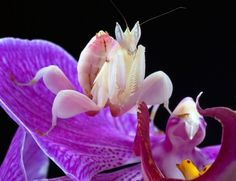 The cunning and devious behaviour of the orchid mantis, as it lies in wait for its prey, has been caught on camera.