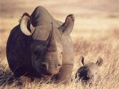 Baby Rhino & Mom.