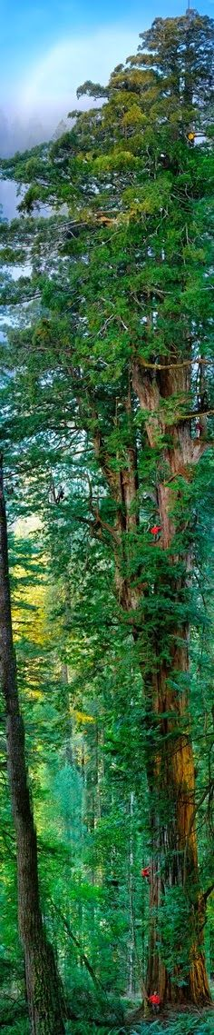 Enormous sequoia trees in the Redwood National Park near San Francisco. Enormous sequoia trees in the Redwood National Park near San Francisco. All Nature, Amazing Nature, Redwood Forest California, Beautiful Places, Beautiful Pictures, Trees Beautiful, Unique Trees, Beautiful Forest, Beautiful Gorgeous