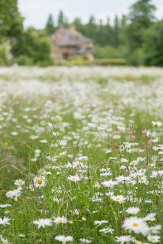 Field of Daisies at the Hameau, Versailles by Georgianna Lane Wild Flower Meadow, Wild Flowers, Champs, Vie Simple, Daisy Field, Daisy Love, Daisy Daisy, Field Of Dreams, Felder