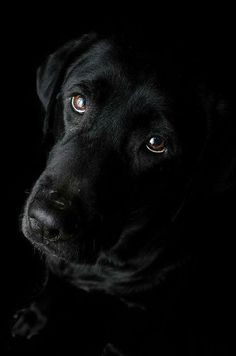 Reminds me of my old Lab/Rottweiler mix Pheobe, sweetest dog in history.