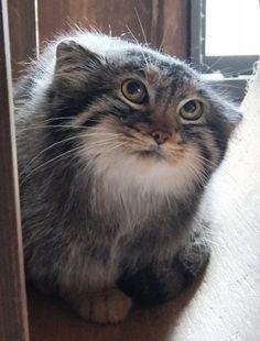 疑いの眼差し! Pretty Cats, Beautiful Cats, Animals Beautiful, Rare Cats, Cats And Kittens, Cats Meowing, Cats Bus, I Love Cats, Cool Cats