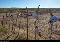 Longhorn cow skulls on display on a ranch in West Texas. Stock Photo