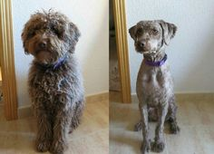 Recognized by the AKC in Before and after full coat is removed. Seems like a different dog altogether now. Dog Love, Puppy Love, Guide Dog Training, Spanish Water Dog, Different Dogs, Dogs And Puppies, Doggies, Toys For Boys, Dog Grooming