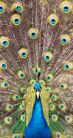 Items similar to Peacock - set of 3 photographs on gallery wrapped canvas on Etsy Peacock Images, Peacock Pictures, Beautiful Birds, Animals Beautiful, Peacock Wallpaper, Facebook Cover Images, Peacock Painting, Peacock Bird, Bird Theme