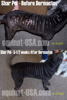 Shar Pei dog suffering major hair loss back and sides. Recovered with Petnat Dermacton