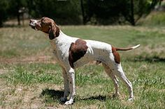 The Pointer dog is also called the English Pointer and this name is more common than just the Pointer dog. The pointer dog or English Pointer appeared for English Pointer Dog, English Setter, Pointer Puppies, The Fox And The Hound, German Shorthaired Pointer, Puppy Breeds, Hunting Dogs, Dog Names, German Shepherd Dogs
