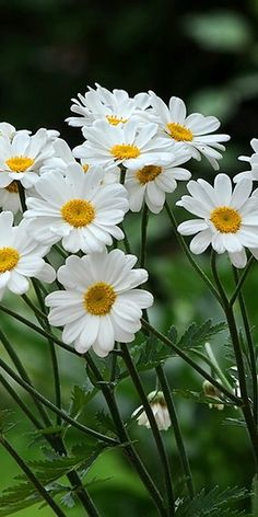 daisies.... simply beautiful - lots of childhood memories making daisy chain…