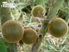 Columbia lulo fruit