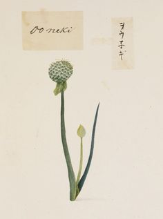 Scallion - Allium fistulosum - Liliaceae - painting on paper, album - National Museum of Natural History - Visual Encyclopedia - Japan in Edo Period as Witnessed by Keiga Kawahara - 川原慶賀の見た江戸時代の日本