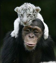 Mono y tigre