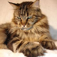 Maine Coon. Look at those feet!!