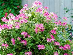 Geranium: maintenance, potting and cuttings - Geranium Care, Perennial Geranium, Cranesbill Geranium, Wild Geranium, Geranium Flower, Geraniums Garden, Red Geraniums, Garden Plants, Shade Perennials