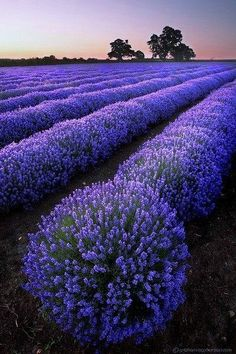 Lavender crop - I'm in love!!!