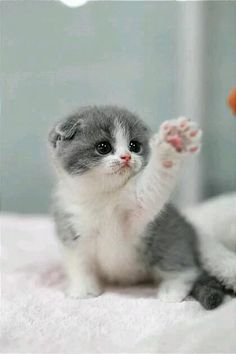 Trends For Pics Of Cute Cats And Kittens If you are looking for Pics of cute cats and kittens you've come to the right place. We have collect images about Pics of cute cats and kittens includ. Omg It S So Cute Kittens Cutest Cute Baby Animals Cats And Baby Animals Super Cute, Cute Baby Cats, Cute Little Animals, Cute Cats And Kittens, Cute Funny Animals, Cute Dogs, Adorable Kittens, Kitty Cats, Funny Kittens