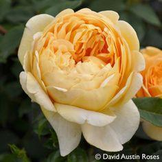 Pflanzen-Kölle Englische Rose 'Golden Celebration' (Ausgold) David Austin.  Eine der schönsten Englischen Rosen mit prächtigen, riesigen Schalenblüten in sattem Goldgelb.