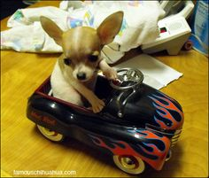 Dixie Rose, the Chihuahua with a hot rod convertible!