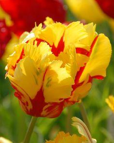 Tulip Texas Flame