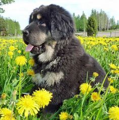 Ruffa the Newfoundland-Rottie Mix. This could be the perfect mix of dog and I want one!!!!