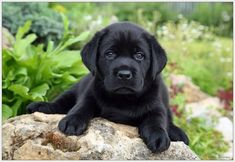 #black #Labrador #pupyy this is the dog Nu Nu wants!!