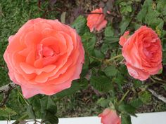 Roses at Red Jacket Riviera Resort South Yarmouth, MA