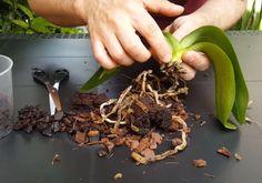 VIDEO. Cum salvezi orhideele cu rădăcini putrezite