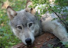 Wolves Wolf packs are highly social. PBS reports that when the alpha pair breeds, the entire group helps raise the cubs. We could learn a thing or two--now that's LOVE.