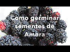Como germinar sementes de Amora