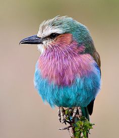 Pretty pastel colored fluffy bird Lilac-Breasted Roller in Kenya - Jan Forseth, lilac-breasted roller, kenya, birds, colours uploaded by GOTINHA Pretty Birds, Love Birds, Beautiful Birds, Beautiful World, Animals Beautiful, Cute Animals, Small Birds, Birds Pics, Tiny Bird