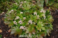 Monrovia's Red-Leafed Mukdenia details and information. Learn more about Monrovia plants and best practices for best possible plant performance.