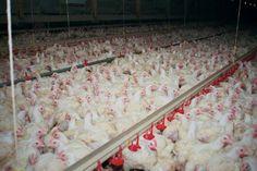 Massenhaltung von Hühnern
