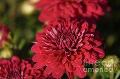 Chrysanthemum by Zori Minkova